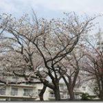 今年の桜(2013.3.24)